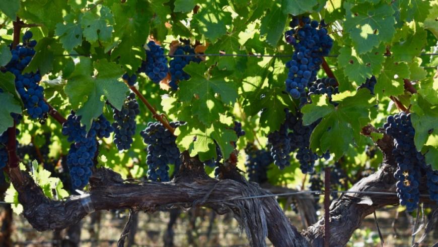 Photo de vigne